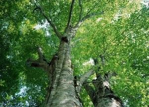 Картинки дерева осины осенью
