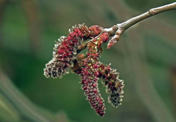 Листва осины осенью