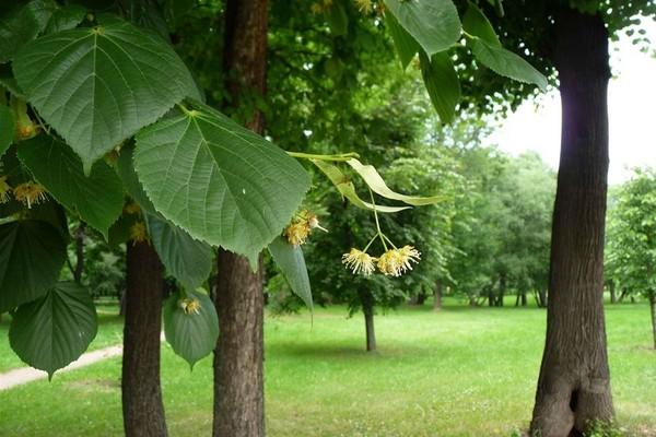 Информация о дереве липа
