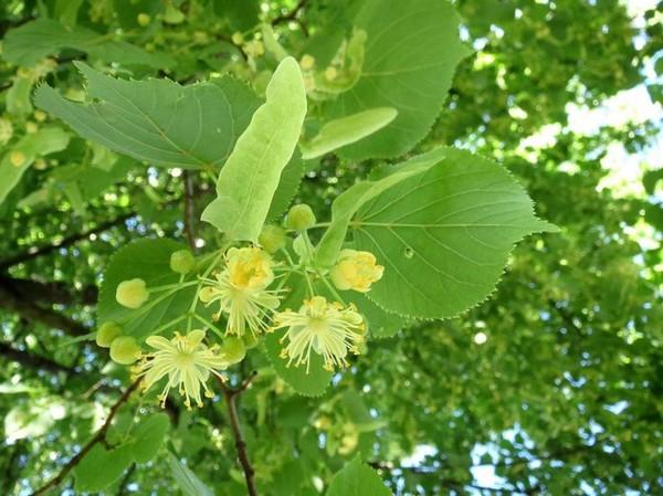 Золотая липа — посадка и уход в саду