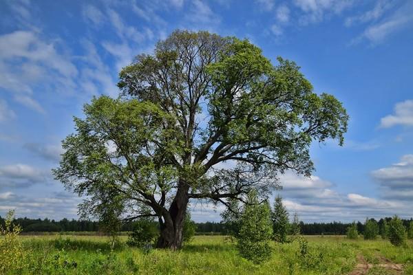 Дерево вяз - где растет в России фото и описание листьев семян видео