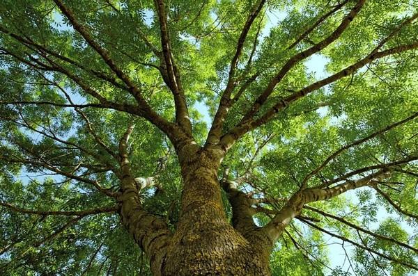 Ясень – виды дерева, свойства и способы выращивания