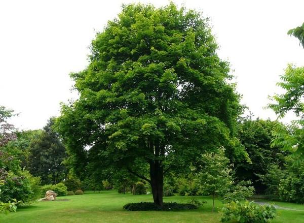 Рассказ про дерево клен