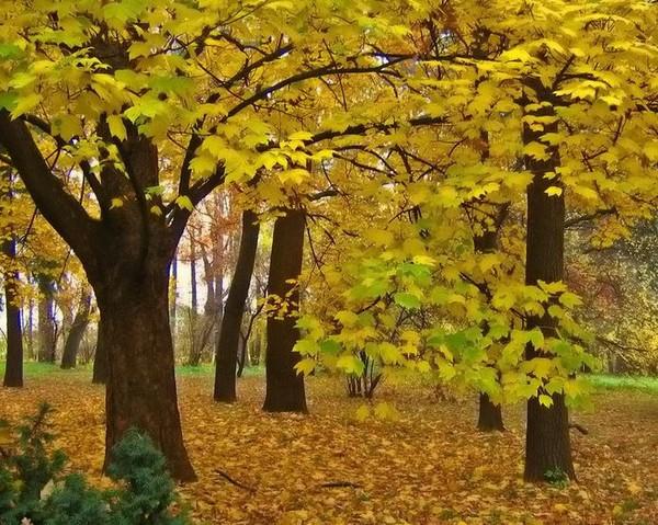 Какова среда обитания кленового дерева? ? || Среда обитания клена