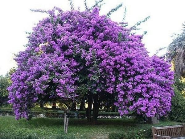 Фиалковое дерево жакаранда: как выращивать в домашних условиях, где растет, полезные свойства
