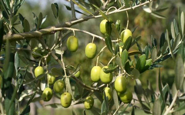 Сколько лет живет оливковое дерево