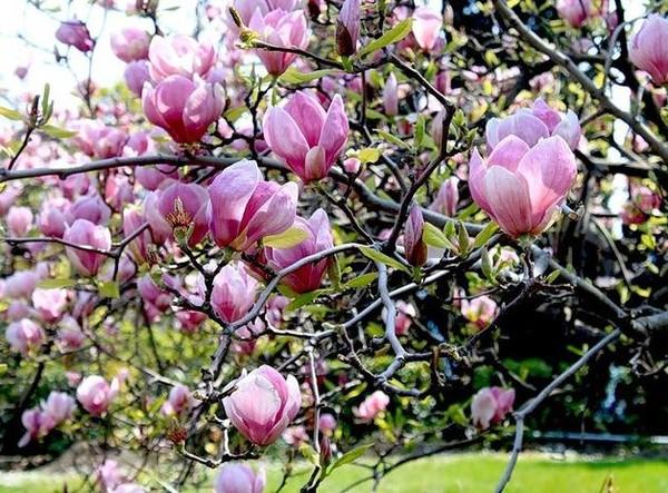 Тюльпановое дерево - фото спатодеи, уход в домашних условиях, выращивание из семян, болезни
