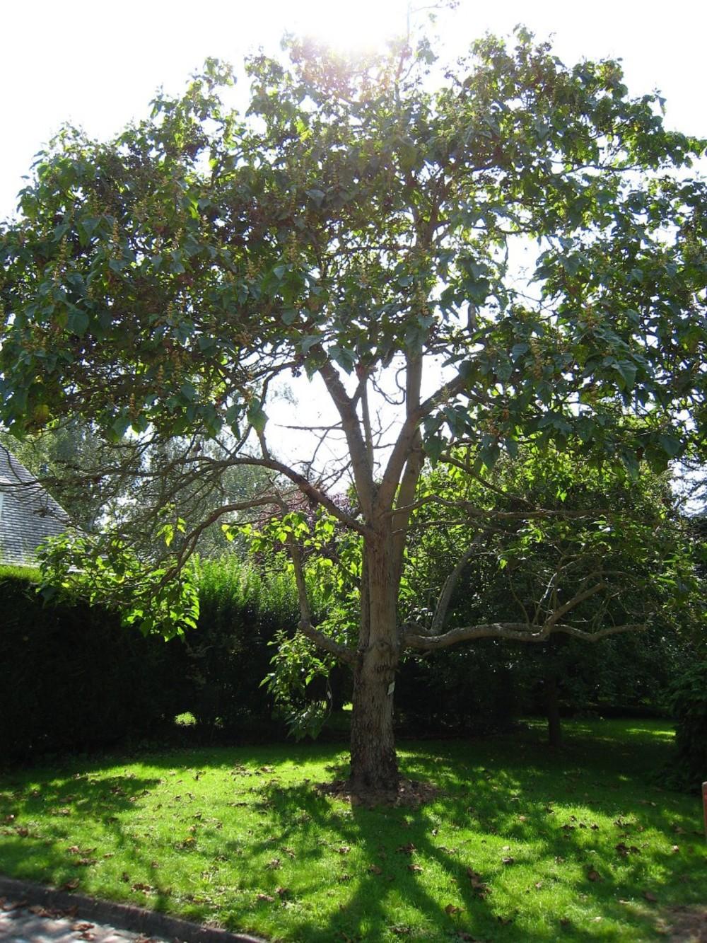 Адамово дерево — виды, свойства и применение