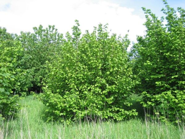 Лещина обыкновенная — полезные и лечебные свойства, где растет кустарник