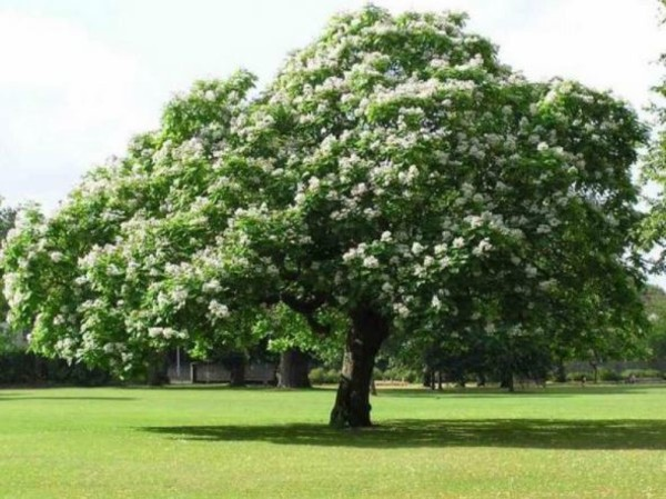 Каштан дерево, посадка и уход ⋆ 13g