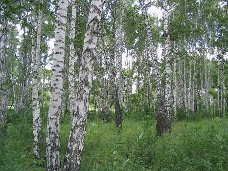 Применение древесины березы