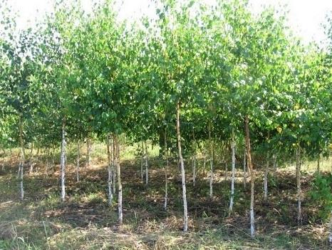 Как правильно пересадить березу из леса. Как и когда пересаживать березу: основные правила высадки